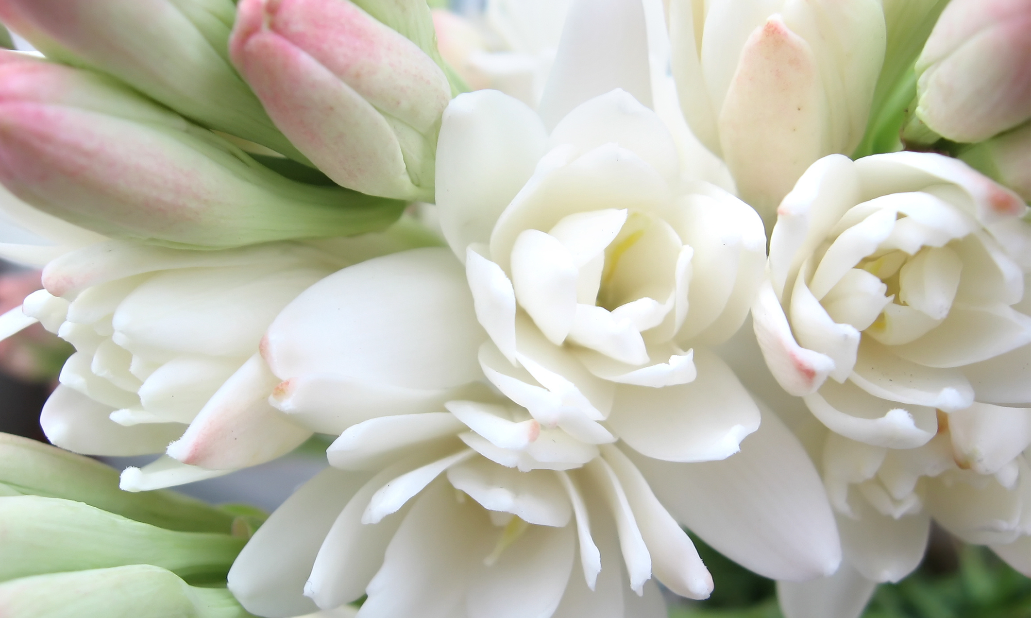 Pictures Of Tuberose 57
